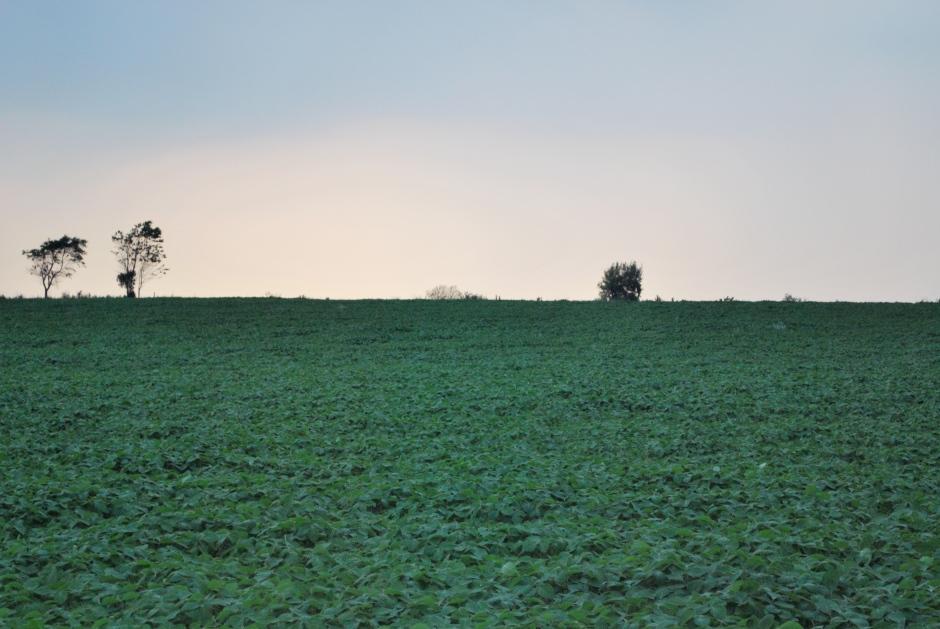 champ de soya