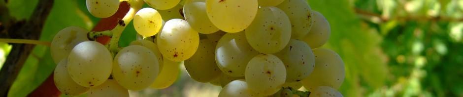 Grappe raisins blancs Niagara