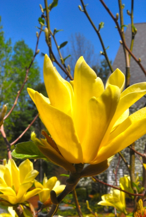 Magnolia jaune, Essex (Burlington), Vermont